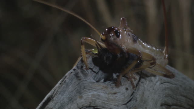 ts raspy cricket catching and eating insect / melbourne, victoria, australia - cricket insect stock videos and b-roll footage