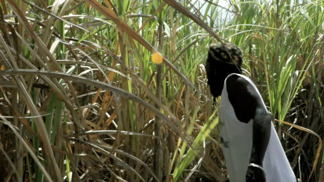 vidéos et rushes de ms rasta man cutting sugar cane / newtons, christ church, barbados - sugar cane
