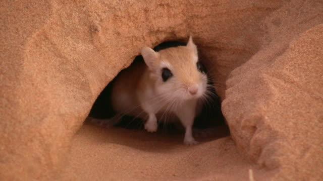 MS Rat at desert burrow / Zouerat, Tiris Zemmour, Mauritania