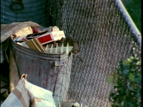 1970 WS Rat climbing into garbage can, Los Angeles, California, USA, AUDIO