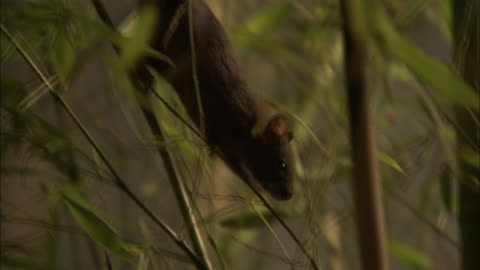 stockvideo's en b-roll-footage met a rat climbs down a bamboo plant in a forest. - bamboo plant