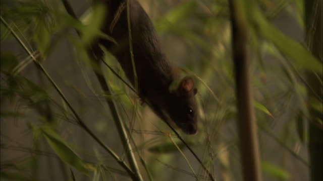 stockvideo's en b-roll-footage met a rat climbs down a bamboo plant in a forest. - rat