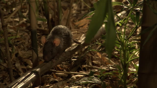 a rat crawls along a bamboo shoot on a forest floor. - bamboo shoot stock videos & royalty-free footage