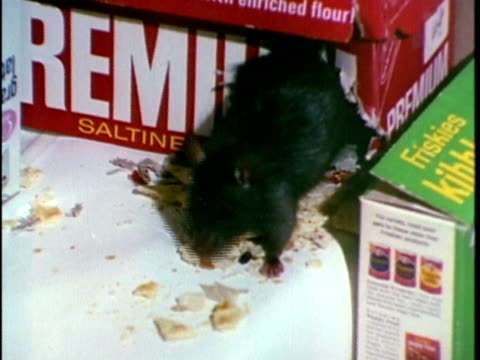 1970 cu zi rat damaging food, los angeles, california, usa, audio - roditore video stock e b–roll