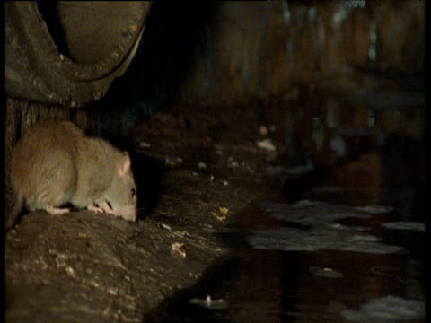 rat eats at the edge of sewer, yorkshire - sewage stock videos and b-roll footage