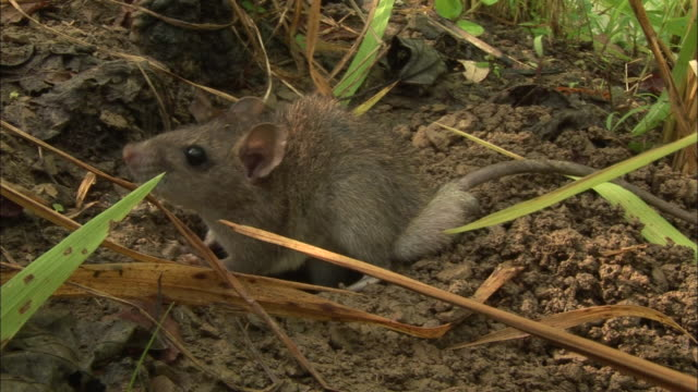 stockvideo's en b-roll-footage met a rat exits its burrow and re-enters. - rat