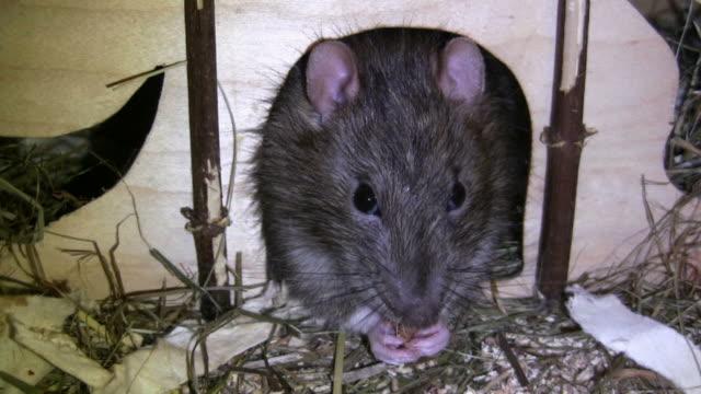 HD: rat feeding