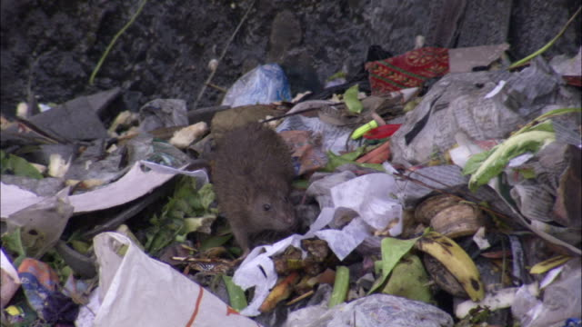 stockvideo's en b-roll-footage met a rat feeds on garbage in a trash pile. available in hd. - rat