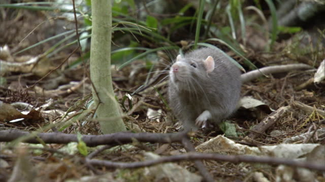 stockvideo's en b-roll-footage met rat (rattus sp) forages in forest, new zealand - rat