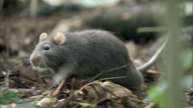 rat (rattus sp) forages in forest, new zealand - zona arborea video stock e b–roll