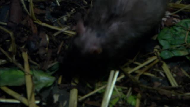 a rat forages over straw and cobblestones. - foraggiamento video stock e b–roll