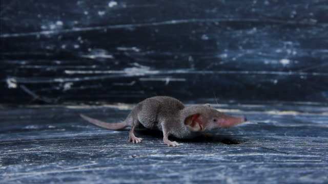 Rat in a house