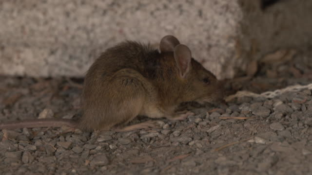 stockvideo's en b-roll-footage met rat in een huis - rat