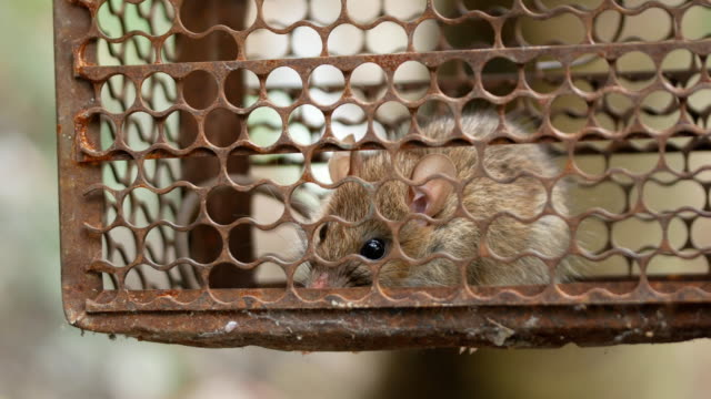 a rat in a trap - mouse animal stock videos & royalty-free footage