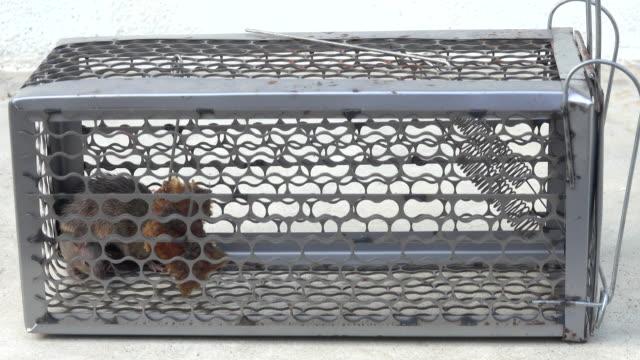 vídeos y material grabado en eventos de stock de rata en la trampa para ratones - atrapar
