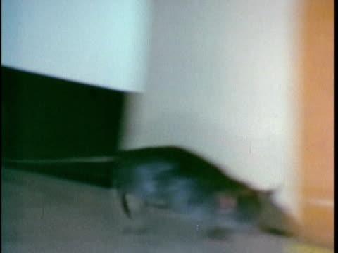 1970 ts rat jumping around house, los angeles, california, usa, audio - skadedjur bildbanksvideor och videomaterial från bakom kulisserna