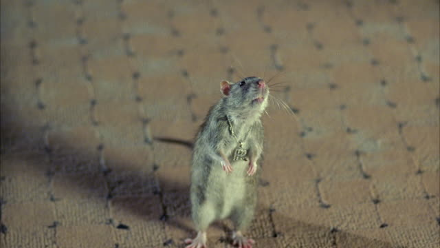 stockvideo's en b-roll-footage met cu rat on carpet in bedroom - rat