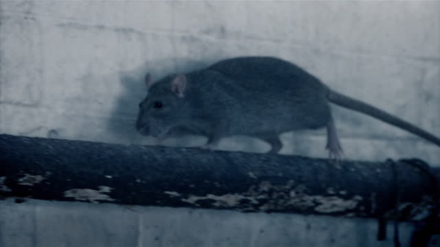 stockvideo's en b-roll-footage met a rat runs along a pipe in a warehouse - rat