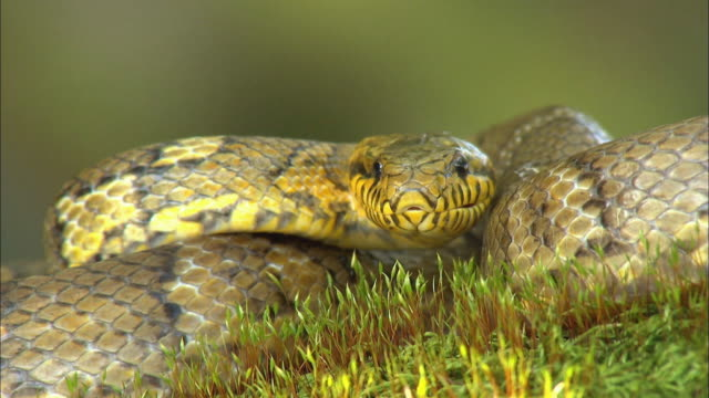 rat snake on grass filed at odaesan national park (designated national park in korea) - south korea stock videos & royalty-free footage