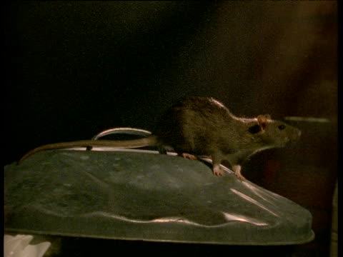 stockvideo's en b-roll-footage met rat sniffs around on top of dustbin as light comes on - rat