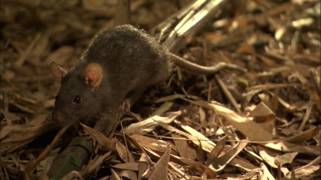 a rat sniffs its surroundings and then scampers away. - rodent stock videos & royalty-free footage