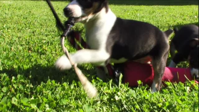 vídeos y material grabado en eventos de stock de rat terrier puppies play in a grassy yard. - terrier