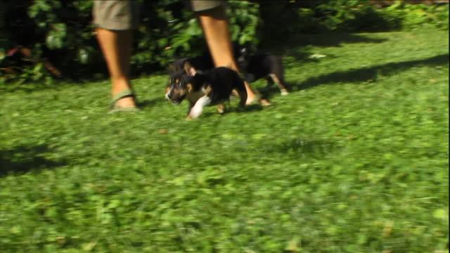 vídeos de stock e filmes b-roll de rat terrier puppies play with a toy in their yard. - raça pura