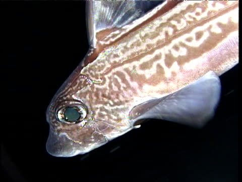 ratfish quickly swims from camera, sognefjord - seeratte stock-videos und b-roll-filmmaterial