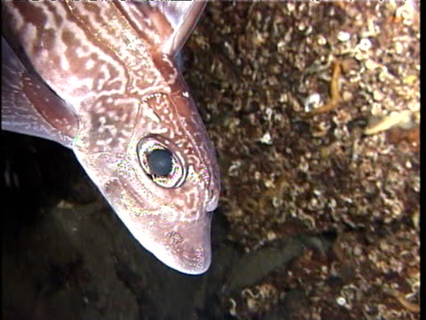 ratfish swims past rocks and camera, sognefjord - seeratte stock-videos und b-roll-filmmaterial