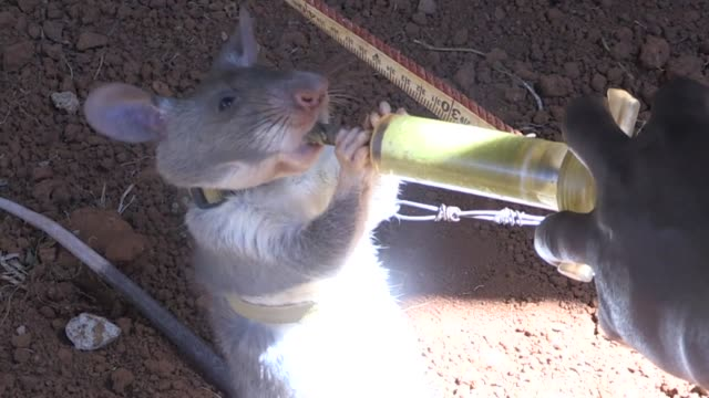rats are being trained to sniff out landmines and tuberculosis in tanzania as part of a project which could one day use rodents to diagnose cancer - tuberculosis stock videos and b-roll footage