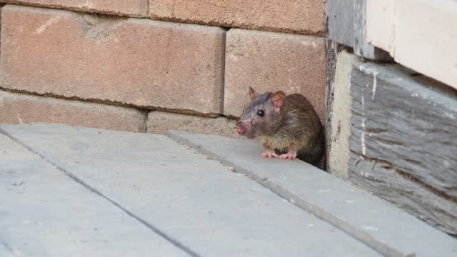 stockvideo's en b-roll-footage met rats in the city - rat