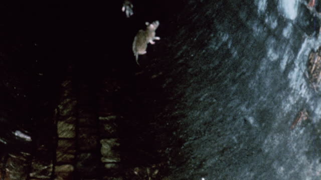 stockvideo's en b-roll-footage met montage rats running around and floating in a sewer / united kingdom - rat
