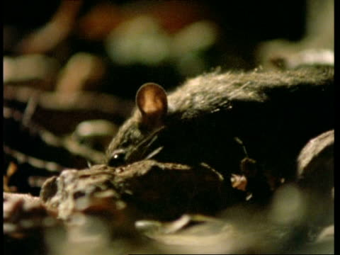 stockvideo's en b-roll-footage met mcu rats scavenging in undergrowth, malaysia - rat