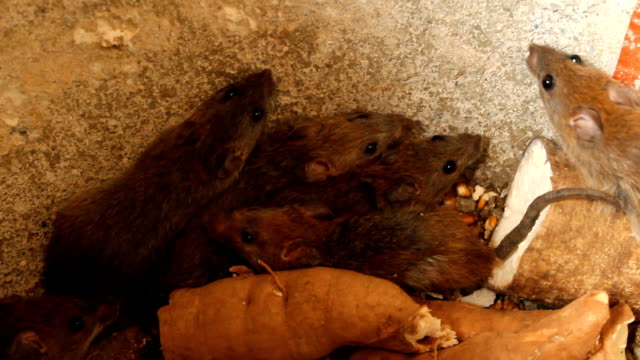 stockvideo's en b-roll-footage met rats - rat