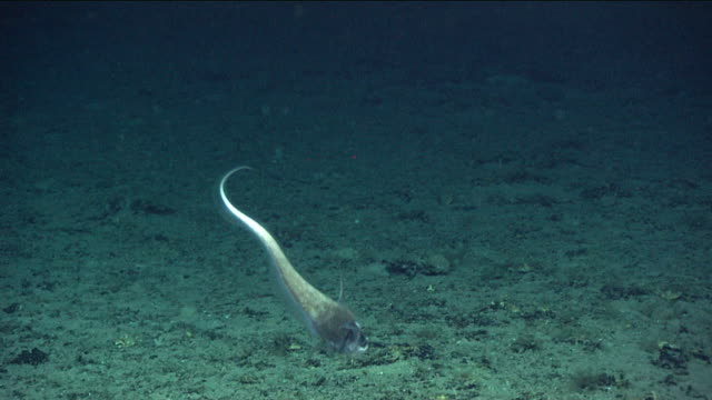 Rattail fish (Macrouridae) on deep sea mount, New England, Atlantic Ocean