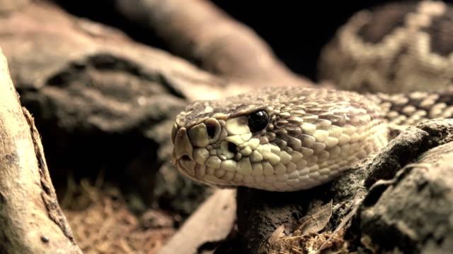 Rattle Snake Porträt riecht die Luft