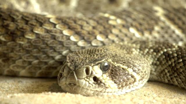 Rattle snake portrait