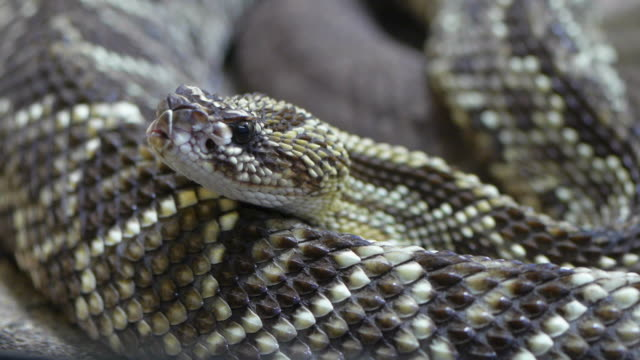 rattle snake - curled up stock videos and b-roll footage