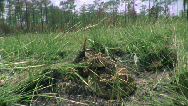 slo mo cu rattlesnake attacking camera, florida, united states - ヘビ点の映像素材/bロール