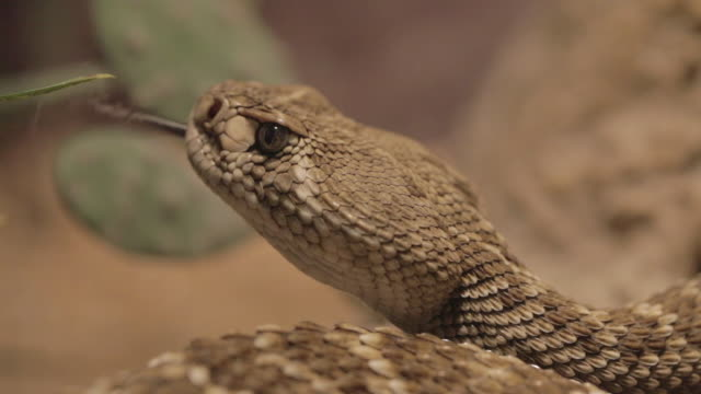 vidéos et rushes de rattlesnake close up (macro) - audio disponible en ligne