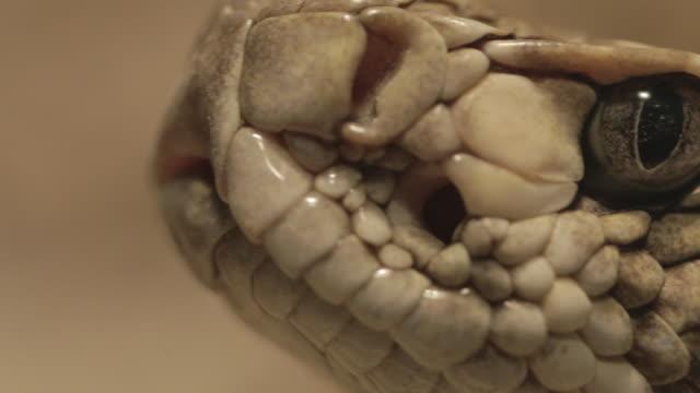 vídeos de stock e filmes b-roll de rattlesnake close up (macro) - cobra