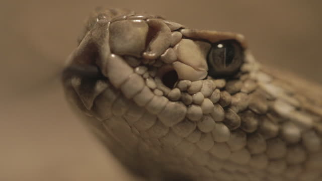 rattlesnake close up (macro) - snake stock videos & royalty-free footage
