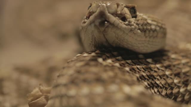 vídeos de stock e filmes b-roll de rattlesnake close up (macro) - áudio disponível online