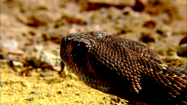 a rattlesnake flicks its tongue out as it rests on the ground. - viper stock videos & royalty-free footage