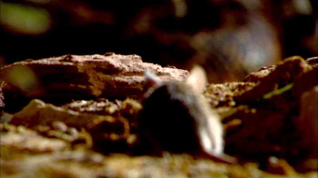 a rattlesnake lies in wait for mouse. - bristol england stock videos & royalty-free footage
