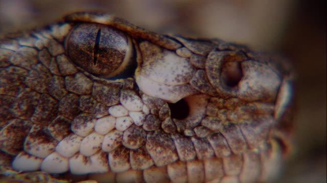 a rattlesnake lies still. - viper stock videos & royalty-free footage