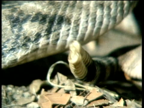 rattlesnake rattles tail while sitting on dry leaves - tail stock videos & royalty-free footage