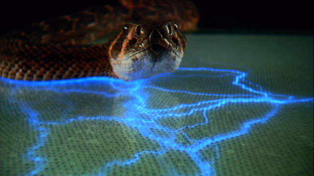 a rattlesnake recoils from a flashing blue light. - ominous stock videos & royalty-free footage