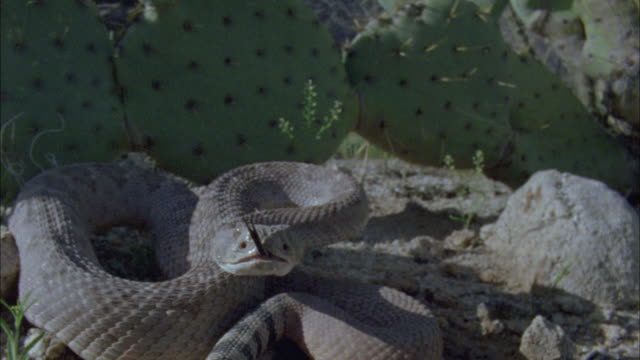 a rattlesnake shakes its rattle, and flicks it tongue before striking. - schlange kriechtier stock-videos und b-roll-filmmaterial