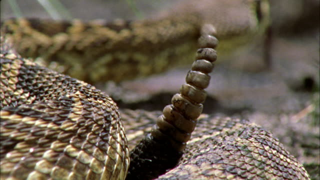 a rattlesnake shakes its rattle as it uncoils. - viper stock videos & royalty-free footage